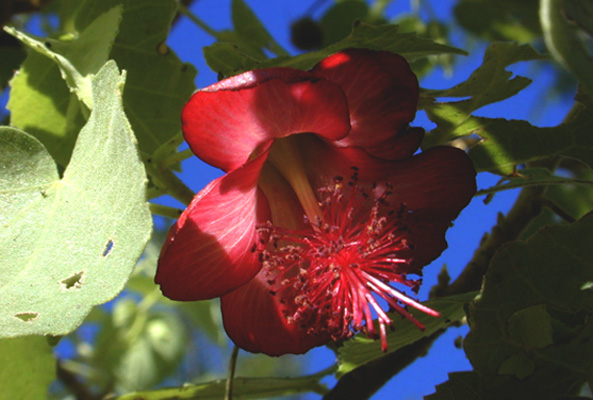 endangered Abutilon flower
